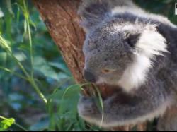 В Австралії рахують коал за допомогою дронів